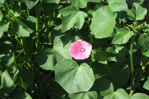 Цветок лабелии фото