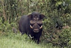 лесная свинья