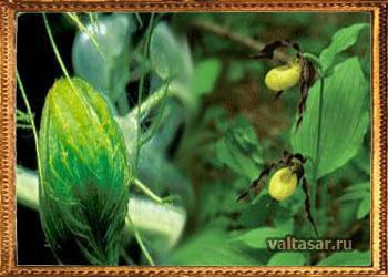 Альдрованда пузырчатая - растение хищник