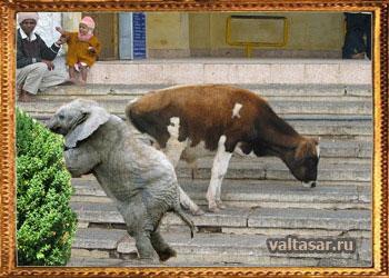 интересные факты о животных - коровы не способны спускаться по лестницам
