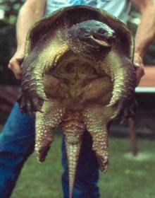 каймановая черепаха - кусака