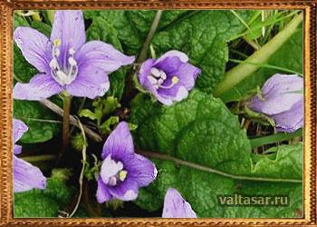 Волшебная мандрагора растение