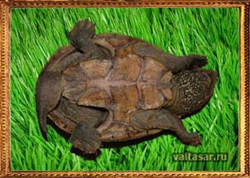 мускучная черепаха